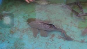 อีกแล้ว..ปลาในทะเลสาบทุ่งนาเชย เมืองจันท์น็อกน้ำตายจำนวนมาก