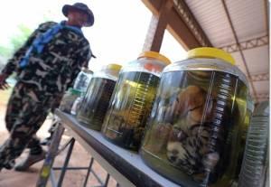 สื่อนอกแฉวัดเสือหลวงตาบัวล่าสุด รองอธิบดีกรมอุทยานฯอ้าง อาจร่วม Four Paws สร้างบ้านใหม่ให้เสืออยู่ - UN ประณามไทยค้าสัตว์ป่า