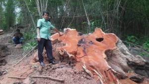 พบมะค่าโมงยักษ์ถูกโค่นคาตอ-แปรรูปกลางป่าพิษณุโลก คาดออเดอร์คนมีสี