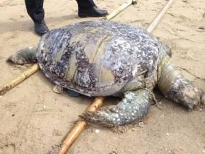 คาดแพลงก์ตอนบลูมทำเต่าตนุ-โลมาอิรวดีตายเกยหาดวอนนภาบางแสน