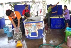 """ฝนตกน้ำขัง """"หอยเชอรี่"""" ระบาด รง.รับซื้อศรีสะเกษกลับมาคึกคัก ไม่อั้นกิโลฯ ละ 600"""