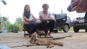 """อดีตพยาบาลสาวใจบุญ อุ้มสุนัขถูกรถชนส่งหมอ พบเป็น """"จิ้งจอกหางพวง"""" สัตว์คุ้มครองหายาก"""