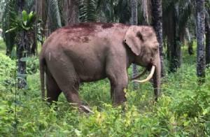 """ตะลึง! พบช้าง """"งางอกกลับหลัง"""" ในมาเลเซีย เล็งส่งเขตอนุรักษ์"""