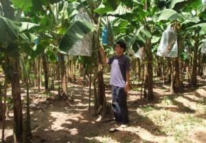 หนุ่มวิศวกรใช้เวลาว่างปลูกกล้วยหอมทองรับออเดอร์สารทจีน 30 ตัน