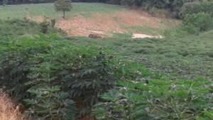 ผวากันทั้งบาง! ช้างห้วยขาแข้งบุกไร่-สวนพังยับ คนชายป่าเจอต่อหน้าต่อตา