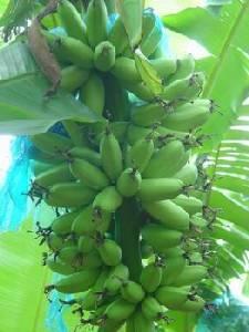 กล้วยไข่เงินล้าน! พืชเศรษฐกิจปลูกง่าย ส่งขายจีนคล่อง