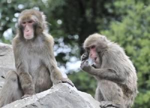 ปลูกเซลล์ผิวจากลิงตัวเดียวให้หัวใจใหม่ลิงป่วยอีก 5 ตัว