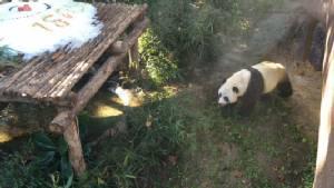 สวนสัตว์เชียงใหม่ปล่อยแพนด้าออกรับลมหนาววันแรกกระตุ้นความพร้อมผสมพันธุ์