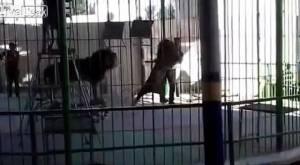 สยองขวัญ!! สิงโตคณะละครสัตว์กระโจนขย้ำครูฝึกตายต่อหน้าต่อตาผู้ชม (ชมคลิป)