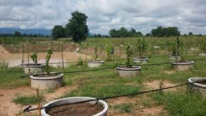 พลิกชีวิต! ปลูก'มะนาวยักษ์'ในบ่อวงซีเมนต์ เริ่ม 15 ต้น เวลา 2 ปีสู่เจ้าของสวน 3.5 ไร่