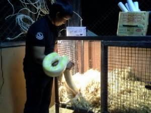 สวนสัตว์อุบลฯ เพิ่มฟางเปิดไฟให้คลายหนาวสัตว์เลี้ยง ขณะที่อากาศหนาวช่วยผลพุทราออกลูกดก