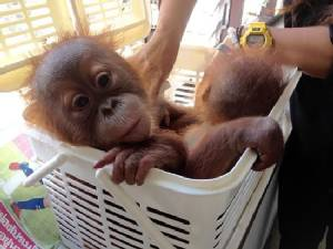 Baby orangutans rescued in Thai police sting