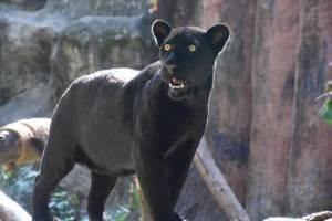 """สวนสัตว์เปิดเขาเขียว มอบ """"เสือจากัวร์ดำ"""" เป็นของขวัญปีใหม่ให้ชาวไทยได้ชม"""