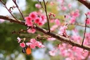 """อัพเดท!! 5 ที่ ชม """"ซากุระเมืองไทย"""" เริ่มออกดอกบาน พร้อมต้อนรับนักท่องเที่ยวแล้ว"""