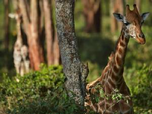 Odd facts about the giraffe