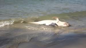 พบโลมาอิรวดี ตายเกยตื้นชายหาดบ้านห้วงโสม มีบาดแผลคล้ายถูกยิง