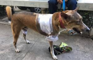 สาวเจ้าของหมาชอปเปอร์แจ้งความเรียกค่าเสียหาย ถูก 3 พิตบูลรุมกัดสาหัสเย็บ 50 เข็ม