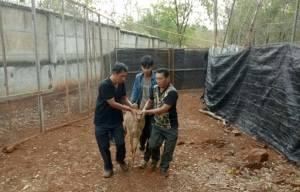 จนท.ขนย้ายละมั่งจากวัดเสือไปไว้ห้วยขาแข้ง-เขาค้อได้แล้ว 42 ตัว เผยพบมีลูกโผล่อีก 3 ตัว