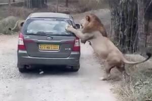 หัวใจแทบหยุดเต้น! สิงโตเล่นงานรถนักท่องเที่ยวที่ซาฟารีอินเดีย (ชมคลิป)
