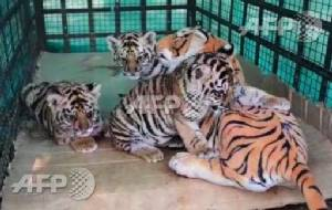 Dummy mummy comes to the rescue of tiger cubs in India