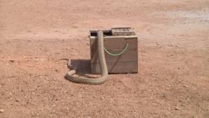 """อากาศหนาว! ชาวบ้านโคกสง่านำ """"งูจงอาง"""" ผิงแดดก่อนขึ้นเวทีชกกับคน(ชมคลิป)"""
