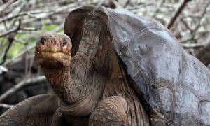"""ซากดองเต่ายักษ์ """"จอร์จผู้เดียวดาย"""" ถูกส่งกลับคืนสู่หมู่เกาะกาลาปาโกส (ชมคลิป)"""