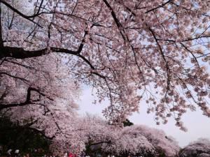 7 จุดชมดอกซากุระยอดฮิตทั่วญี่ปุ่น...งดงามราวภาพฝัน