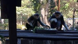 """สวนสัตว์เชียงใหม่ขยายพันธุ์ได้ """"ลูกค่างห้าสี"""" สัตว์สวยงามหายากอีก 1 ตัว"""