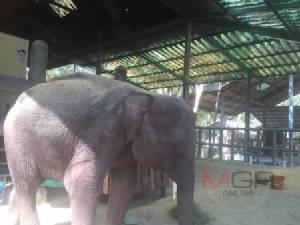 เศร้า! พลายสมหวัง ช้างน้อยวัย 3 ปีล้มอีกเชือกแล้ว