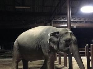 มูลนิธิเพื่อนช้างได้สมาชิกใหม่อีก 1 เชือก แม่ช้างวัย 28 ปีตกลูกตัวผู้รับเดือนมีนาคม