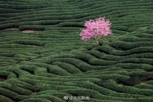 """ชมภาพ """"ซากุระ"""" นับแสนต้นบานสะพรั่งท่ามกลางไร่ชาอู่หลงเขียวขจีกว้างไกลสุดขอบฟ้า"""