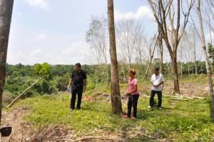 ชาวสวนยางที่สุราษฎร์ฯ เร่งกรีดยางก่อนตัดต้นทิ้ง เหตุเป็นโรครากเน่าจากน้ำท่วม