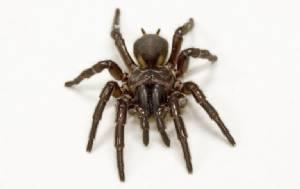 พิษแมงมุมร้ายแรงถึงตาย แต่อาจช่วยชีวิตผู้ป่วยหลอดเลือดสมอง