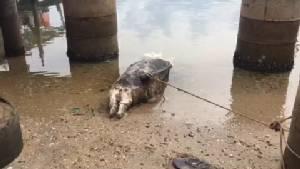 พบซากโลมาปากขวดเกยหาดเมืองจันท์ อึ้ง! มีเศษถุงพลาสติกในกระเพาะอาหาร
