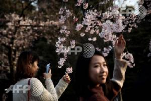Japan counts down to cherry blossom fever