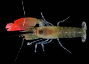 """กุ้งพันธุ์ใหม่เปล่งเสียงก้องในมหาสมุทรได้ชื่อตามวงร็อค """"พิงค์ ฟลอยด์"""""""