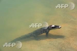 Baby crocodile found in suburban Australia returned to zoo