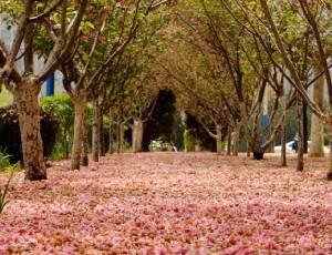 ชมภาพถนนปูพรมดอกซากุระ เมืองต้าเหลียน สวยงามดั่งฝัน