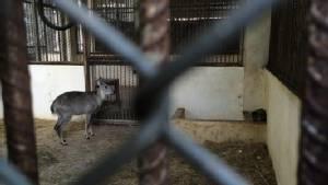 """สวนสัตว์เชียงใหม่เฮรับ """"ม้าเทวดา"""" สมาชิกเกิดใหม่ ผลสำเร็จตัวแรกจากการวิจัยขยายพันธุ์หนึ่งในสัตว์ป่าสงวนไทย"""