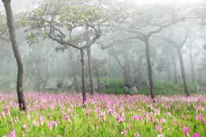 """สวยสะพรั่งรับฝน """"หยิบหมอก หยอกดอกกระเจียว"""" เทศกาลท่องเที่ยวดอกกระเจียวบาน"""