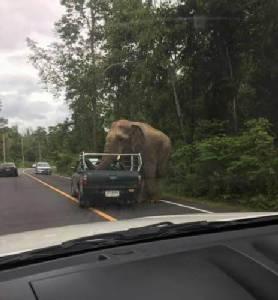 หากินง่าย.. ช้างป่าแก่งกระจานยืนดักรอกินผลไม้ บน ถ.สายวลัย-ป่าละอู