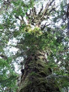 นักวิทยาศาสตร์ประหลาดใจต้นไม้ใหญ่ที่ปาปัวนิวกินีสูงถึง 40 เมตร