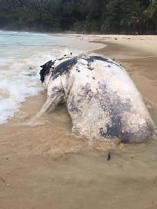ฮือฮา วาฬหัวทุยสัตว์ทะเลหายาก ลอยติดหาดภูเก็ต