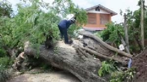 อบต.ท่าฉนวน เร่งตัดต้นมะขามยักษ์อายุ 300 ปี โดนพายุล้มขวางถนน