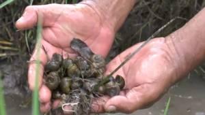 ระทม! ชาวนาอุทัยผจญทั้งน้ำท่วมทั้งหอยเชอรี่ระบาด วอนภาครัฐช่วยด่วน