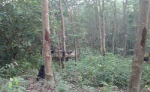 ฝูงช้างป่าเขาชะเมา ยังคงวนเวียนบุกกินพืชไร่ชาวบ้านจนเสียหายเกือบ 100 ไร่