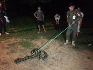 เจ็บใจ! ไก่หายเกือบหมดเล้า ที่แท้งูหลามลอบเขมือบรายวัน