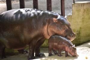 """สวนสัตว์เปิดเขาเขียวได้สมาชิกใหม่ """"ฮิปโปโปเตมัสแคระ"""" พร้อมโหวตชื่อชิงรางวัล"""
