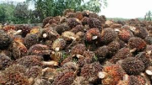 บางจากซื้อน้ำมันปาล์มดิบเพิ่มหมื่นตัน ช่วยบรรเทาความเดือดร้อนเกษตรกร