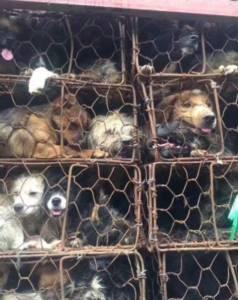 """หมาน้อยรอดตายนับพัน! กลุ่มนักพิทักษ์สิทธิสัตว์ล้อมสกัดรถขนตูบ ก่อนส่งเชือดฉลอง """"เทศกาลกินหมา"""""""